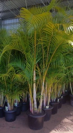 Dypsis lutescens containerised