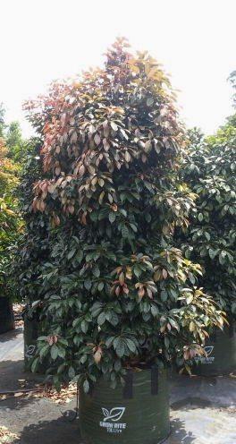 Elaeocarpus eumundi (Eumundi Quandong)