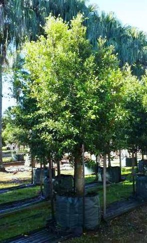 Ficus Flash (Hills Weeping Fig)