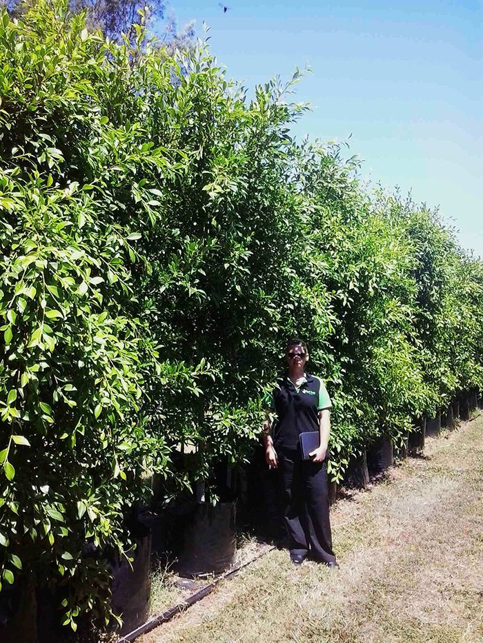 Ficus hillii (Hills Weeping Fig)
