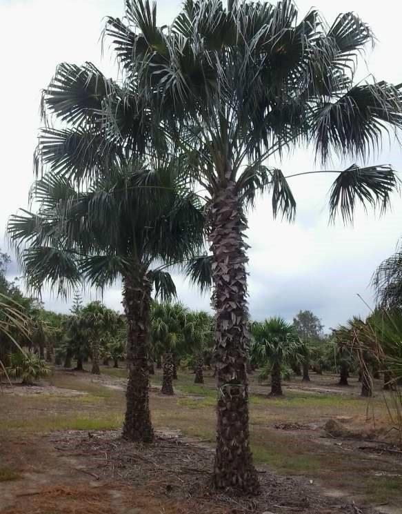 Livistona australis exground