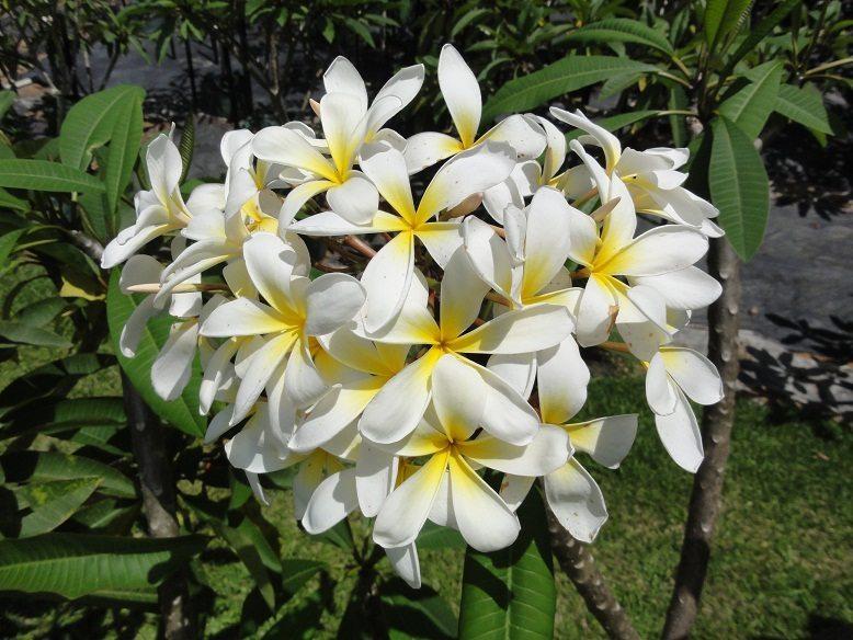 Plumeria acutifolia flower