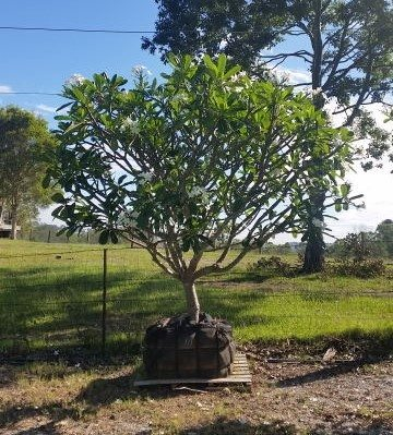 Plumeria obtusa containerised