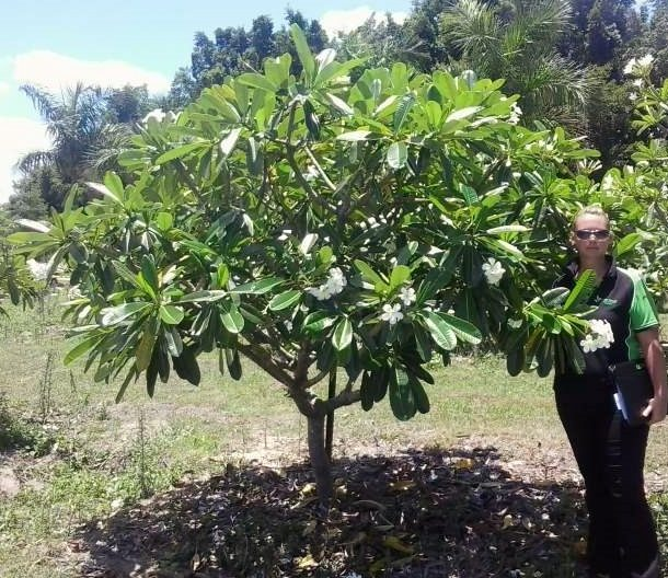Plumeria obtusa exground