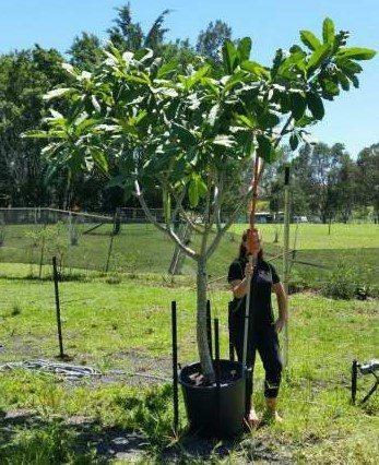 Plumeria rubra 2.5m
