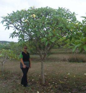 Plumeria rubra exground