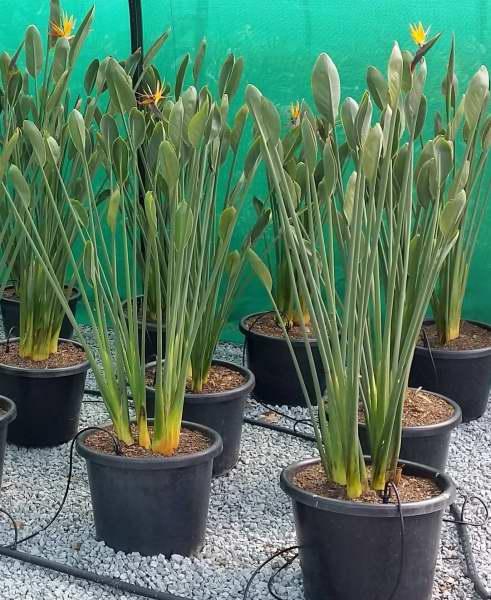 Strelitzia parvifolia