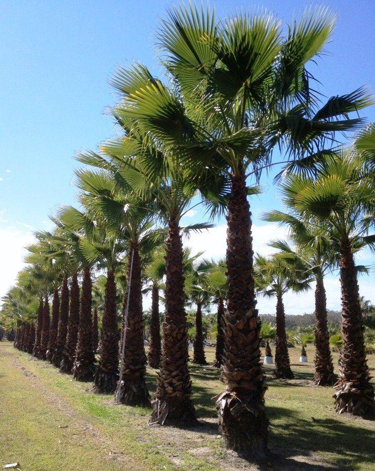 Washingtonia robusta exground